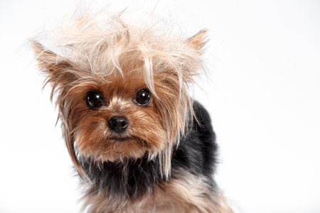 Yorkshire terrier looking at the camera in a head shot, against a white studio background