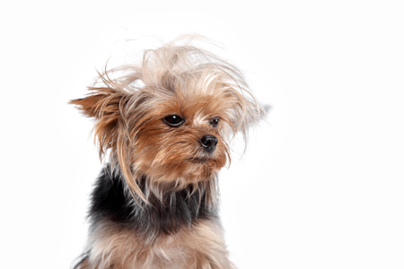 Yorkshire terrier mini - a head shot, against a white studio background