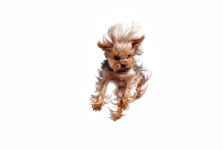 Yorkshire terrier mini jumping against a white studio background Stock Photo