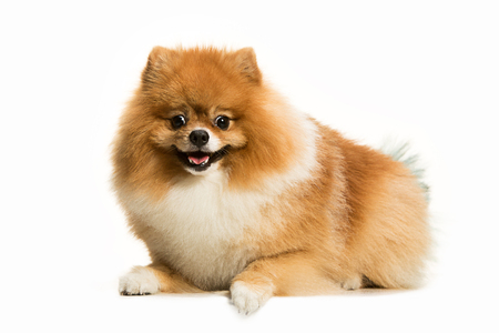 The cute Little young pomeranian cob isolated over white studio background