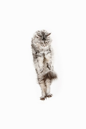Maine Coon jumping and looking away, isolated on white studio