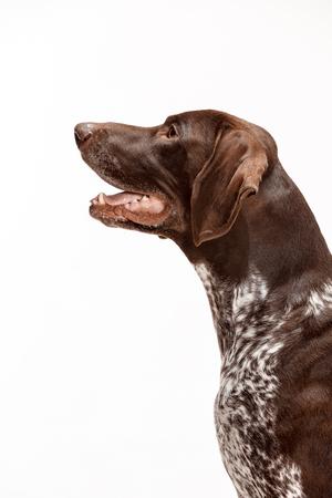 German Shorthaired Pointer - Kurzhaar puppy dog isolated on white studio background Фото со стока