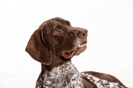 German Shorthaired Pointer - Kurzhaar puppy dog isolated on white studio background Stock Photo