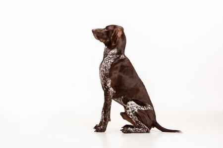German Shorthaired Pointer - Kurzhaar puppy dog isolated on white studio background Reklamní fotografie