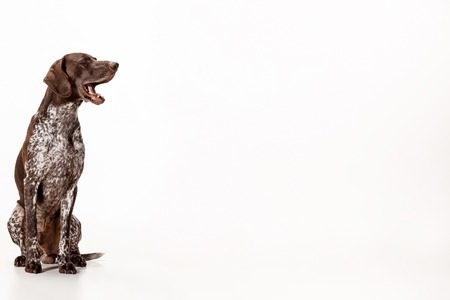 Braco Alemán - Cachorro Kurzhaar aislado sobre fondo blanco de estudio