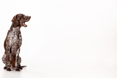 Duitse Kortharige Wijzer - Kurzhaar-puppyhond op witte studioachtergrond wordt geïsoleerd die