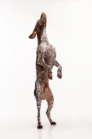 German Shorthaired Pointer - Kurzhaar puppy dog standing isolated on white studio background