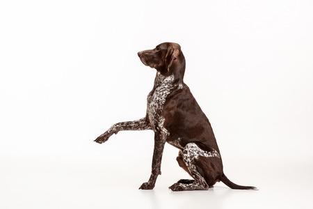 German Shorthaired Pointer - Kurzhaar puppy dog isolated on white studio background Stock Photo