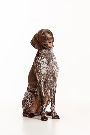 German Shorthaired Pointer - Kurzhaar puppy dog isolated on white studio background Reklamní fotografie - 108917662