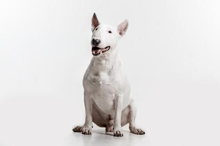 Bull Terrier type Dog on white studio background Stock fotó