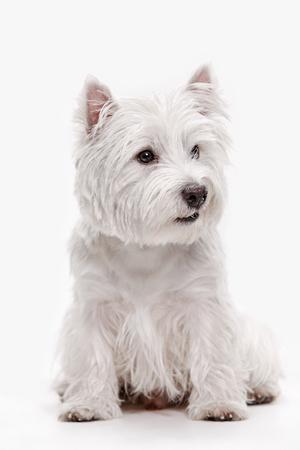 The west highland terrier dog in front of white studio background 版權商用圖片