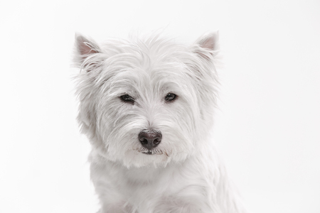 The west highland terrier dog in front of white studio background Stock Photo