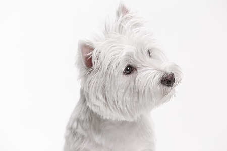 The west highland terrier dog in front of white studio background Reklamní fotografie