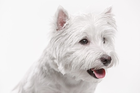 The west highland terrier dog in front of white studio background Standard-Bild