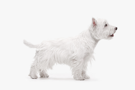 The west highland terrier dog in front of white studio background 免版税图像