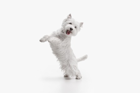 The west highland terrier dog in front of white studio background 스톡 콘텐츠