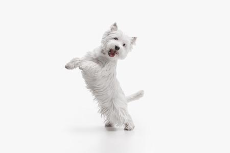 Der Westhochlandterrierhund vor weißem Studiohintergrund