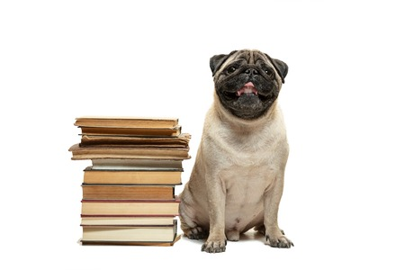 The smart intelligent pug puppy dog sitting down between piles of books isolated on white