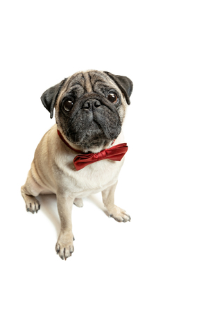 Cute pet dog pug breed sitting and smile with happiness feeling so funny and making serious face.