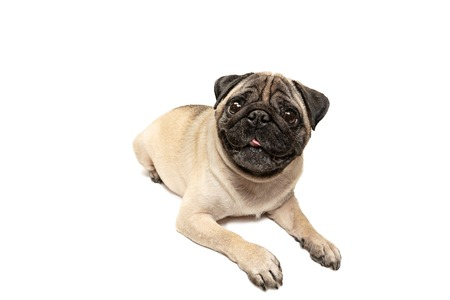 Cute pet dog pug breed sitting and smile with happiness feeling so funny and making serious face. Фото со стока