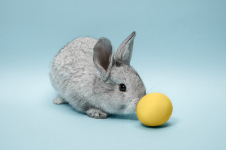 Easter bunny rabbit with blue painted egg on blue background. Easter, animal, spring, celebration and holiday concept. Stock Photo