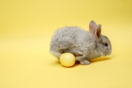 Easter bunny rabbit with painted egg on yellow background. Easter, animal, spring, celebration and holiday concept. Stock Photo