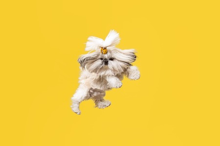 Shih-tzu puppy wearing orange bow. Cute doggy or pet is jumping isolated on yellow background. The Chrysanthemum Dog. Negative space to insert your text or image. Stock Photo