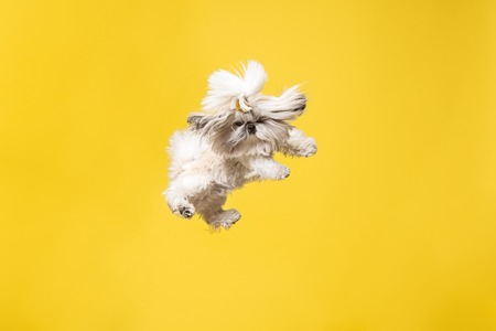 Shih-tzu puppy wearing orange bow. Cute doggy or pet is jumping isolated on yellow background. The Chrysanthemum Dog. Negative space to insert your text or image. 写真素材