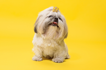 Shih-tzu puppy wearing orange bow. Cute doggy or pet is lying isolated on yellow background. The Chrysanthemum Dog. Negative space to insert your text or image.