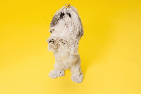 Shih-tzu puppy wearing orange bow. Cute doggy or pet is standing isolated on yellow background. The Chrysanthemum Dog. Negative space to insert your text or image.