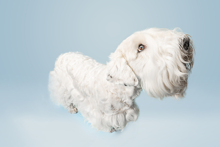 Groomed terrier puppy with fluffy fur. Cute white little doggy or pet is playing and running isolated on blue background. Studio photoshot. Negative space to insert your text or image. Stock Photo