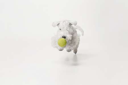 Groomed terrier puppy with fluffy fur. Cute white little doggy or pet is playing with yellow ball isolated on white background. Studio photoshot. Negative space to insert your text or image.