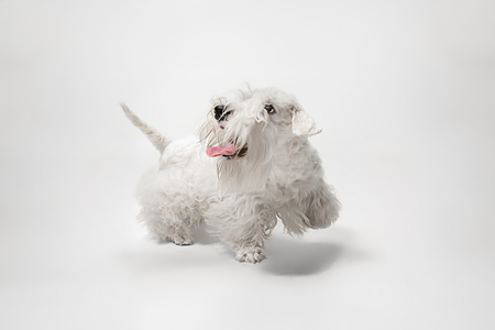 Groomed terrier puppy with fluffy fur. Cute white little doggy or pet is playing and running isolated on white background. Studio photoshot. Negative space to insert your text or image.