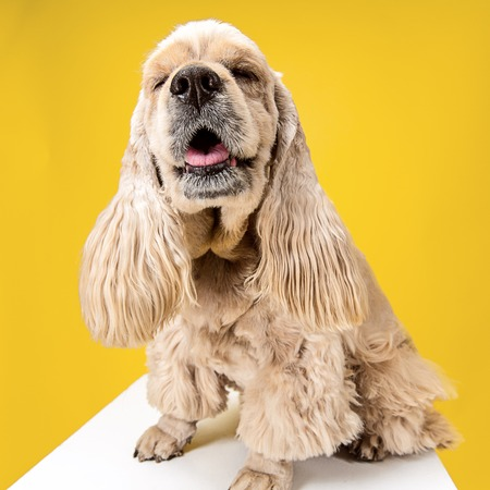 Enjoyment. American spaniel puppy. Cute groomed fluffy doggy or pet is sitting isolated on yellow background. Studio photoshot. Negative space to insert your text or image. Reklamní fotografie