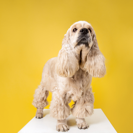 Wait for me, human. American spaniel puppy. Cute groomed fluffy doggy or pet is sitting isolated on yellow background. Studio photoshot. Negative space to insert your text or image.