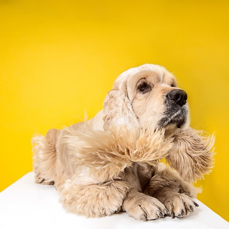 Waiting for caress. American spaniel puppy. Cute groomed fluffy doggy or pet is lying isolated on yellow background. Studio photoshot. Negative space to insert your text or image.