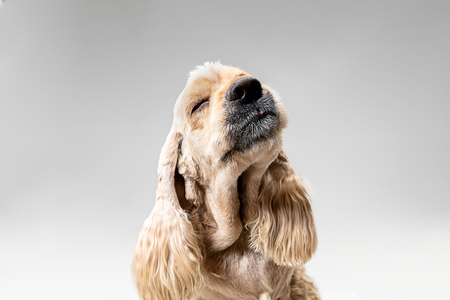 American spaniel puppy relaxing. Portrait of cute groomed fluffy doggy or pet is playing isolated on gray background. Studio photoshot. Negative space to insert your text or image.