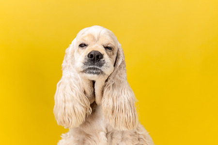 Overslept. American spaniel puppy. Cute groomed fluffy doggy or pet is sitting isolated on yellow background. Studio photoshot. Negative space to insert your text or image.