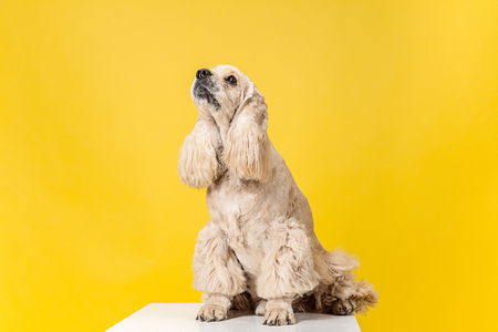 Beautiful american spaniel puppy. Cute groomed fluffy doggy or pet is sitting isolated on yellow background. Studio photoshot. Negative space to insert your text or image. Reklamní fotografie
