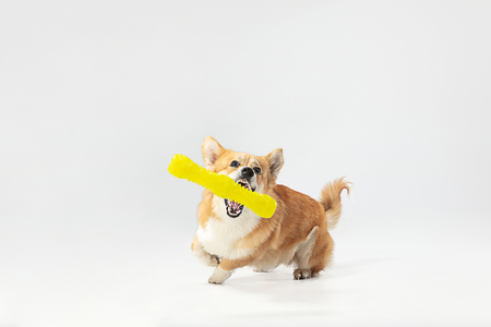 Yes, I win it. Welsh corgi pembroke puppy in motion. Cute fluffy doggy or pet is playing isolated on white background. Studio photoshot. Negative space to insert your text or image. Imagens