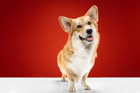 Dont let me alone. Welsh corgi pembroke puppy is posing. Cute fluffy doggy or pet is sitting isolated on red background. Studio photoshot. Negative space to insert your text or image.