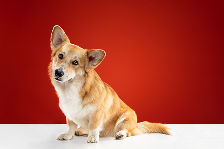 Let me be your friend. Welsh corgi pembroke puppy is posing. Cute fluffy doggy or pet is sitting isolated on red background. Studio photoshot. Negative space to insert your text or image.
