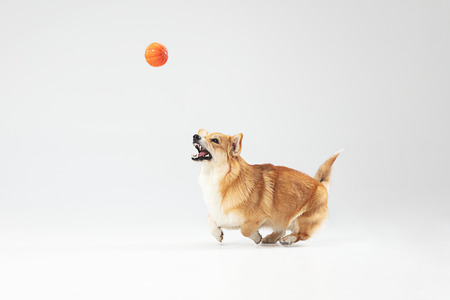 I have no time. Welsh corgi pembroke puppy in motion. Cute fluffy doggy or pet is playing isolated on white background. Studio photoshot. Negative space to insert your text or image. Banco de Imagens