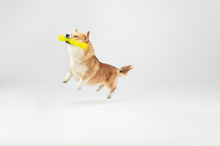 Dont you know I can fly. Welsh corgi pembroke puppy in motion. Cute fluffy doggy or pet is playing isolated on white background. Studio photoshot. Negative space to insert your text or image.