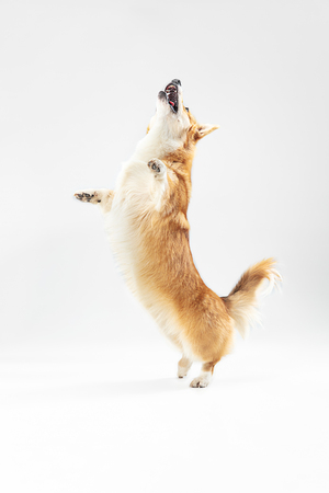 One more thing. Welsh corgi pembroke puppy in motion. Cute fluffy doggy or pet is playing isolated on white background. Studio photoshot. Negative space to insert your text or image.