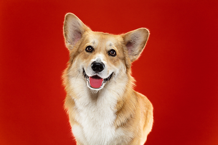 Lach naar me. Welsh corgi pembroke puppy poseert. Schattige pluizige hondje of huisdier zit geïsoleerd op rode achtergrond. Studiofoto-opname. Negatieve ruimte om uw tekst of afbeelding op te nemen. Stockfoto
