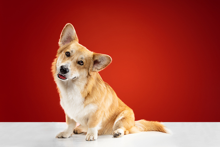 Lets play together. Welsh corgi pembroke puppy is posing. Cute fluffy doggy or pet is sitting isolated on red background. Studio photoshot. Negative space to insert your text or image.