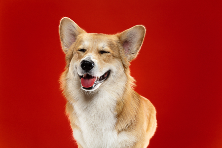 Enjoying life. Welsh corgi pembroke puppy is posing. Cute fluffy doggy or pet is sitting isolated on red background. Studio photoshot. Negative space to insert your text or image. Stock Photo