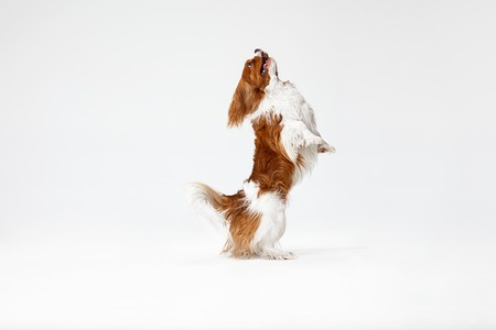 Spaniel puppy playing in studio. Cute doggy or pet is jumping isolated on white background. The Cavalier King Charles. Negative space to insert your text or image. Concept of movement, animal rights.