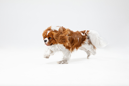 Spaniel puppy playing in studio. Cute doggy or pet is running isolated on white background. The Cavalier King Charles. Negative space to insert your text or image. Concept of movement, animal rights. Stock Photo